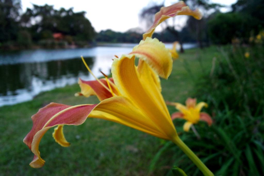 Flor amarela no Parque do Ibirapuera, em São Paulo
