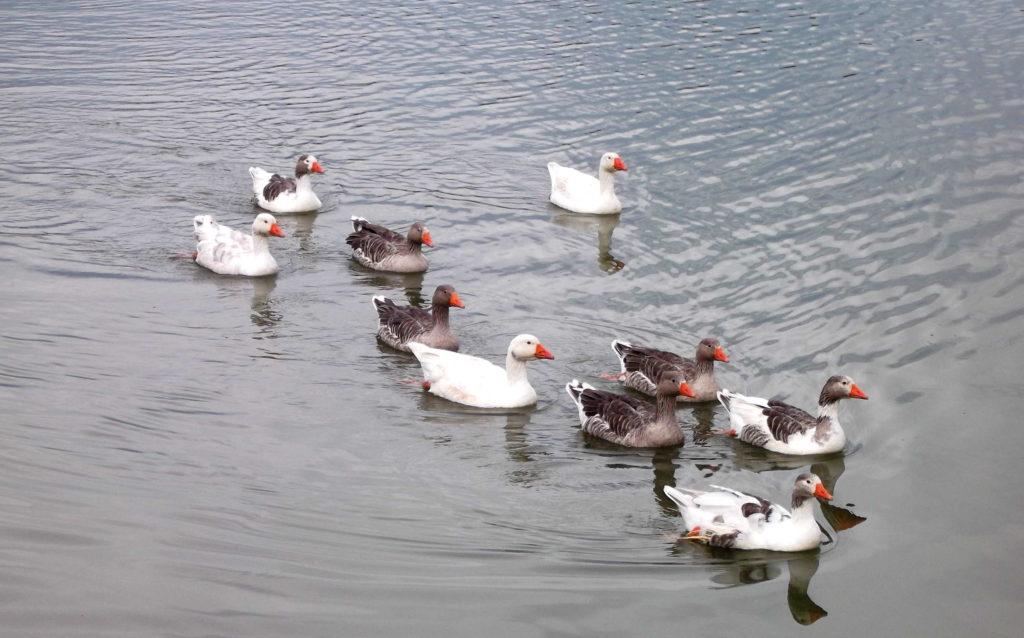 Patos no parque barigui