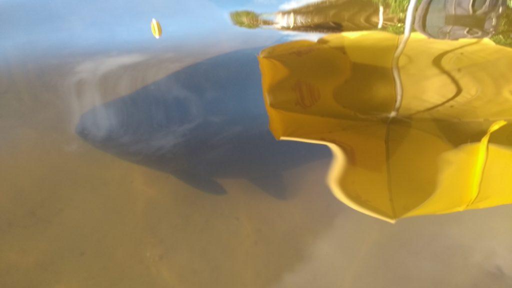 Tambaqui nadando na lagoa